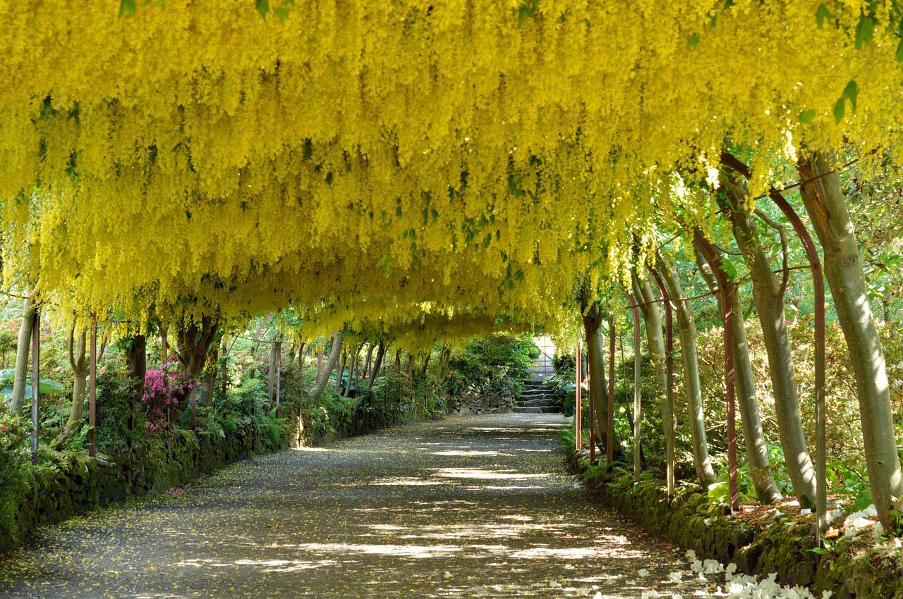 Bodnant Garden laburnum arch